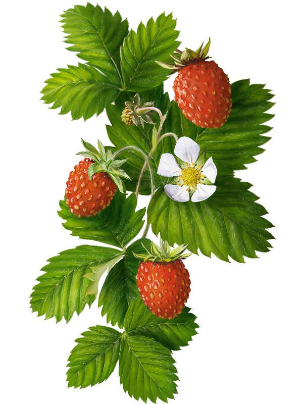 http://img.artlebedev.ru/everything/illustrations/makarova/images/strawberry.jpg