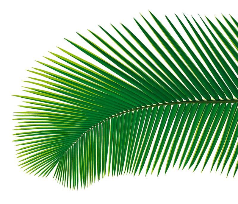 обитают пальмовый листок картинка большинстве случаев